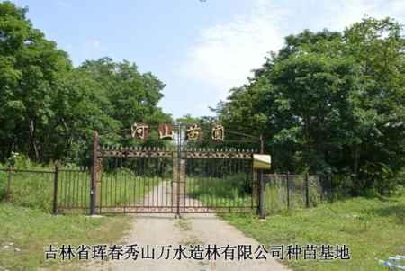 吉林五角枫种植基地