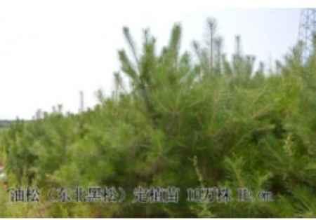 吉林油松树苗批发价格